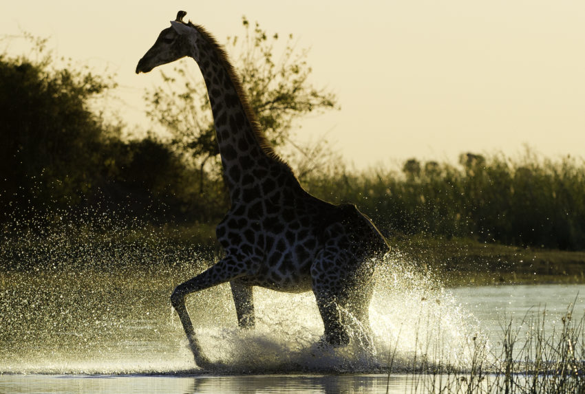 Kings Pool Linyanti Giraffe in the Okovango Delta