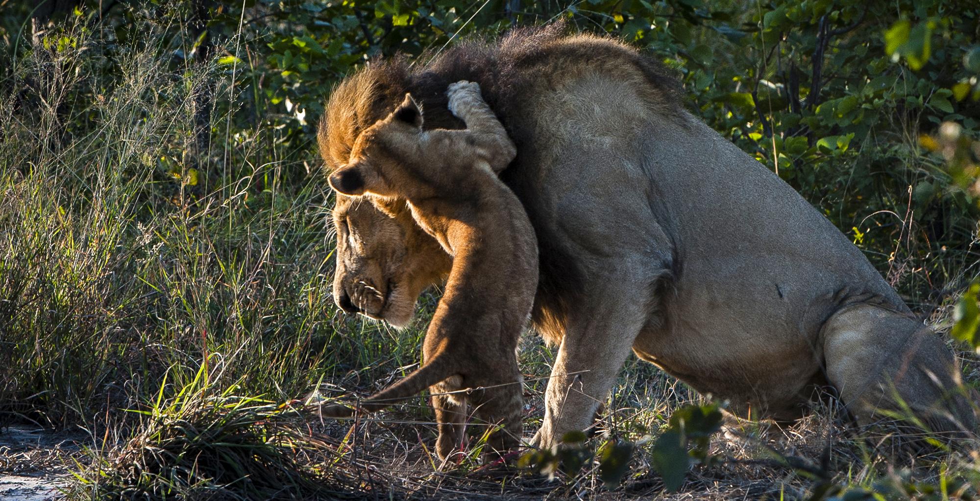 Botswana-Okavango-Delta-Wildlife-Lion