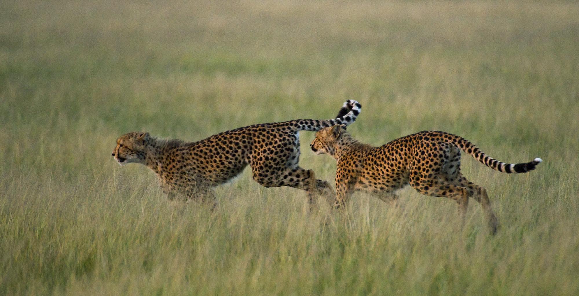Botswana-Kalahari-Plains-Wildlife-Cheetah