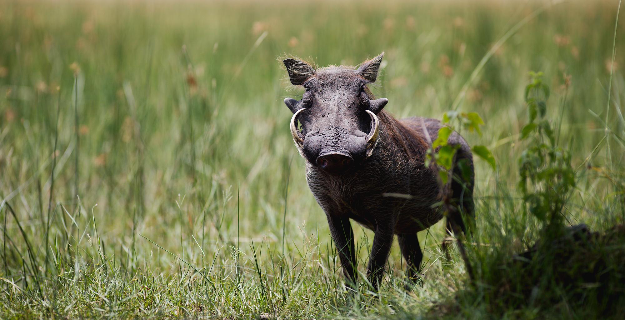 Botswana-Okavango-Delta-Wildlife-Warthog