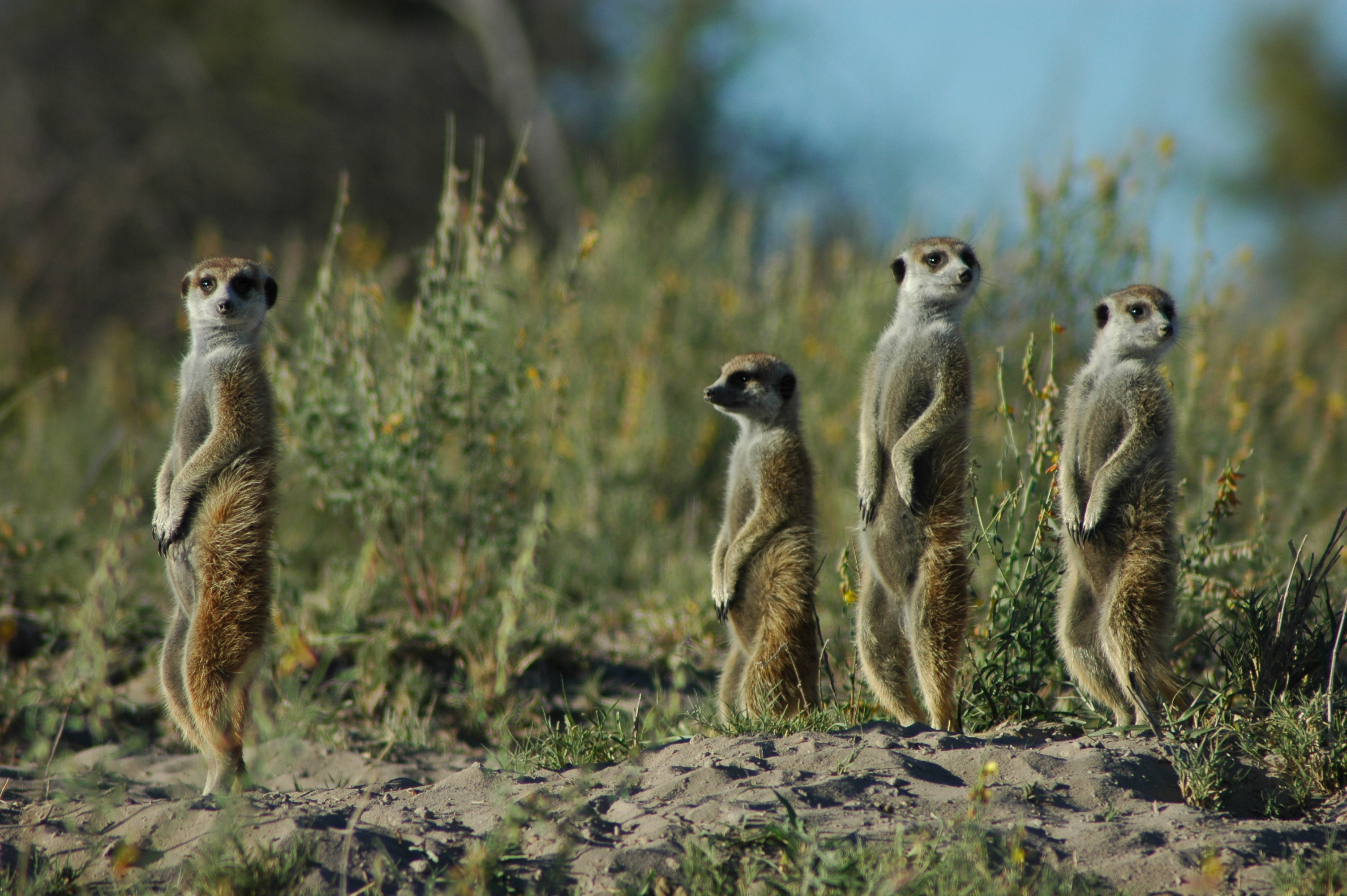 Jacks-Camp-Botswana-Meerkat