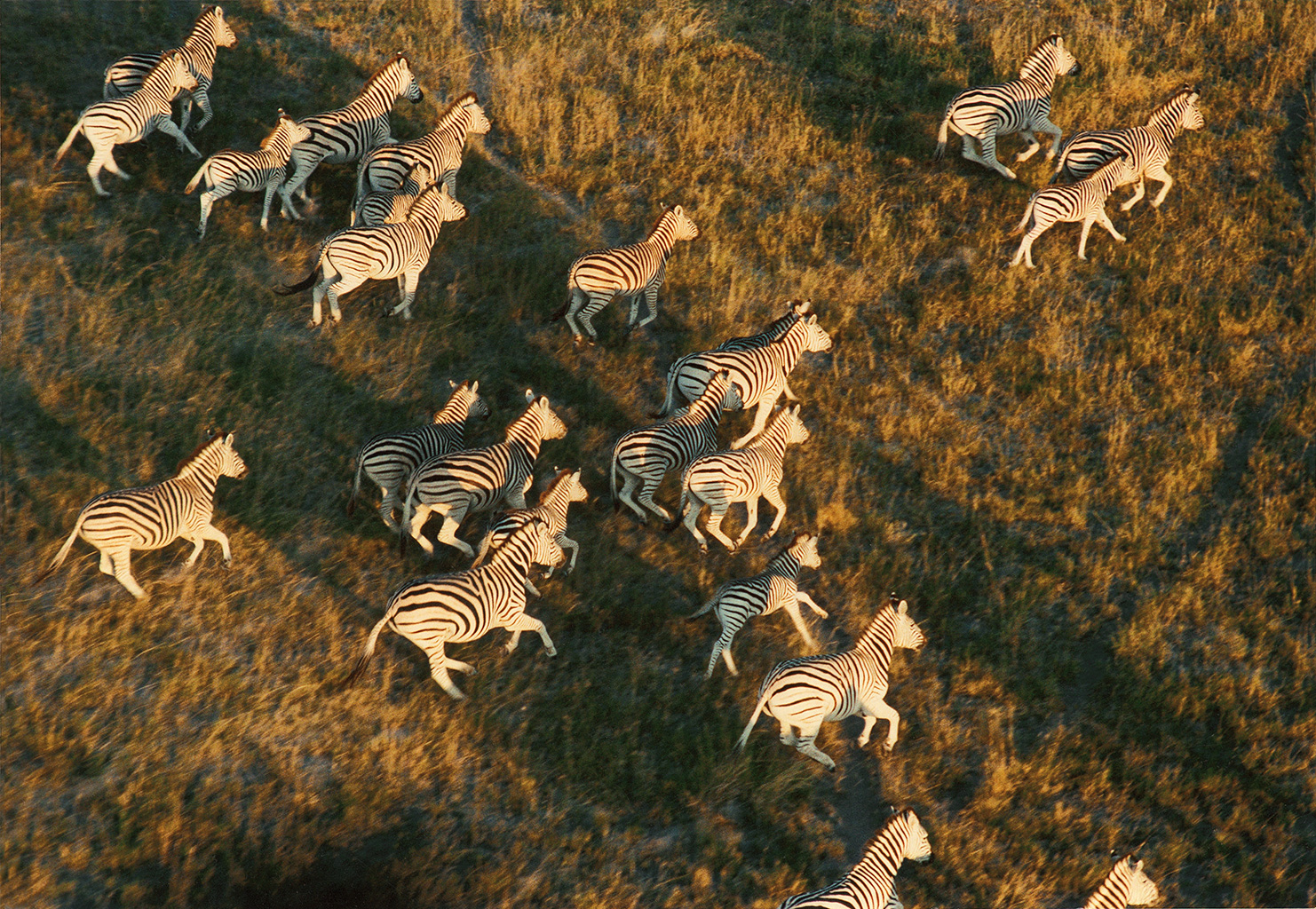 Jacks-Camp-Botswana-running-zebra