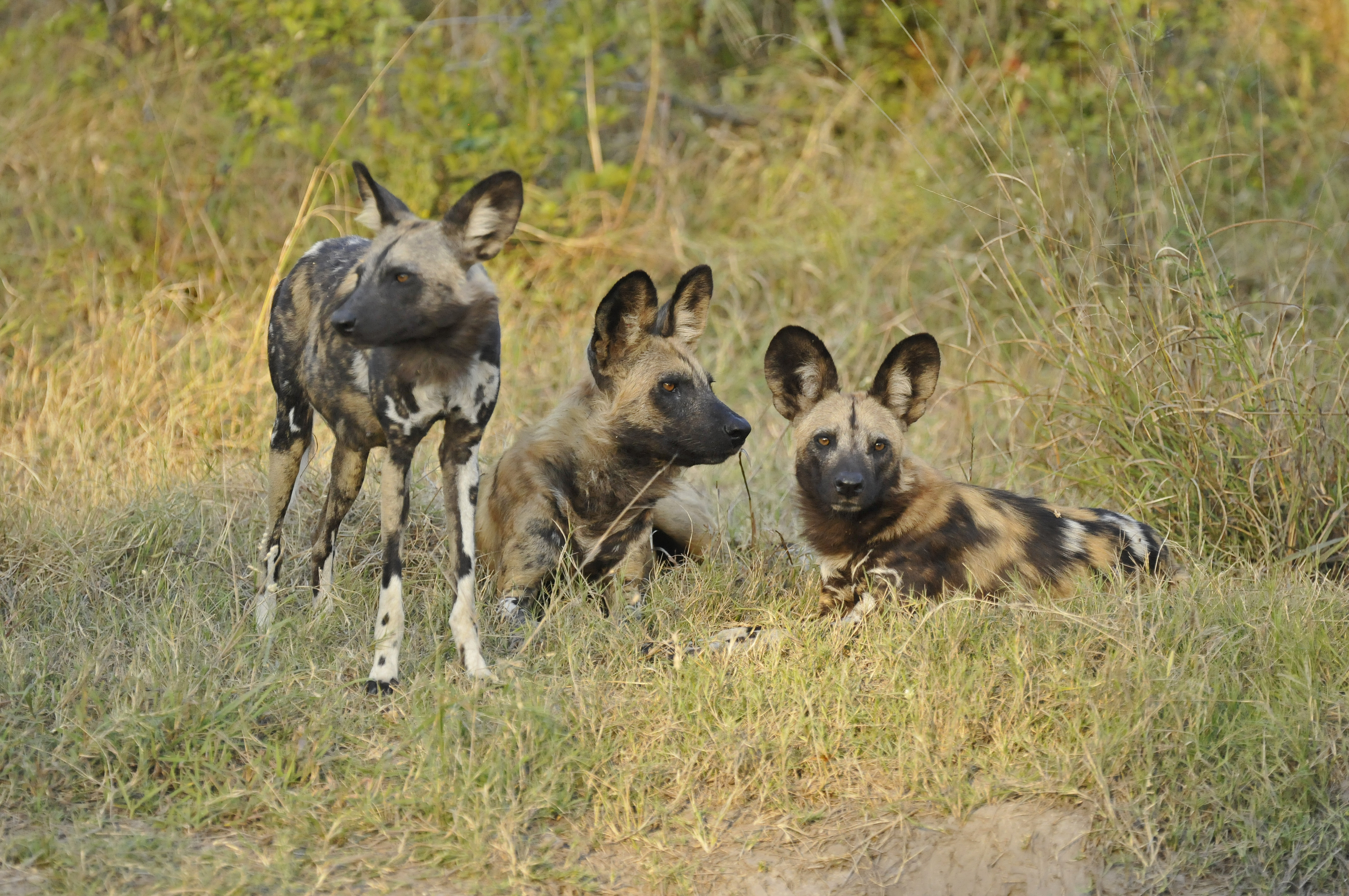 Kwando Concessions Wild Dogs