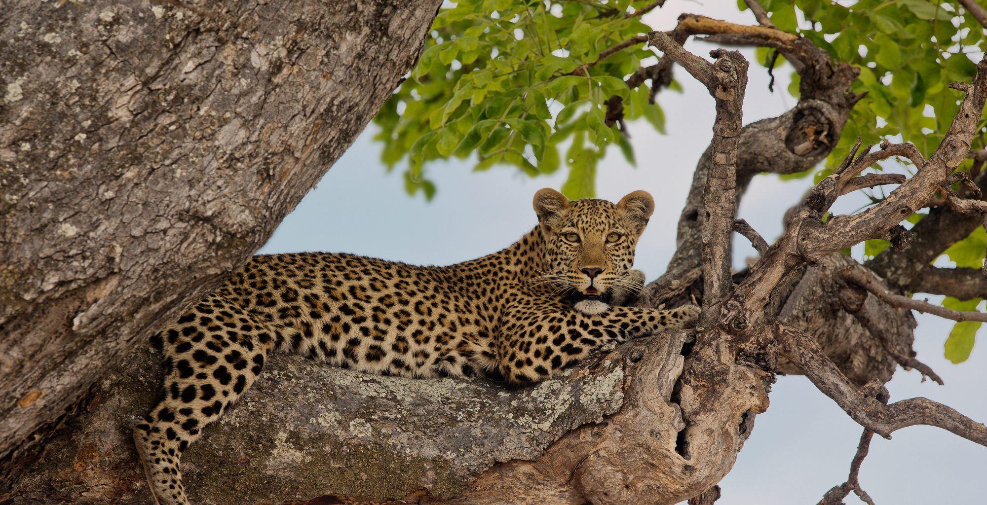 Botswana-Kwando-Wildlife-Leopard