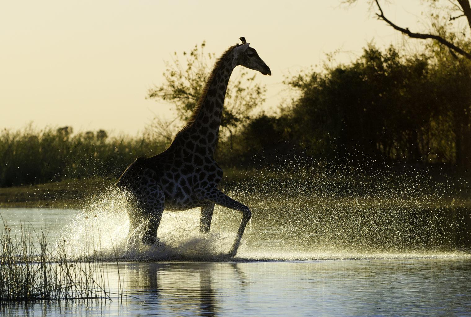 Kings Pool Camp Botswana Giraffe