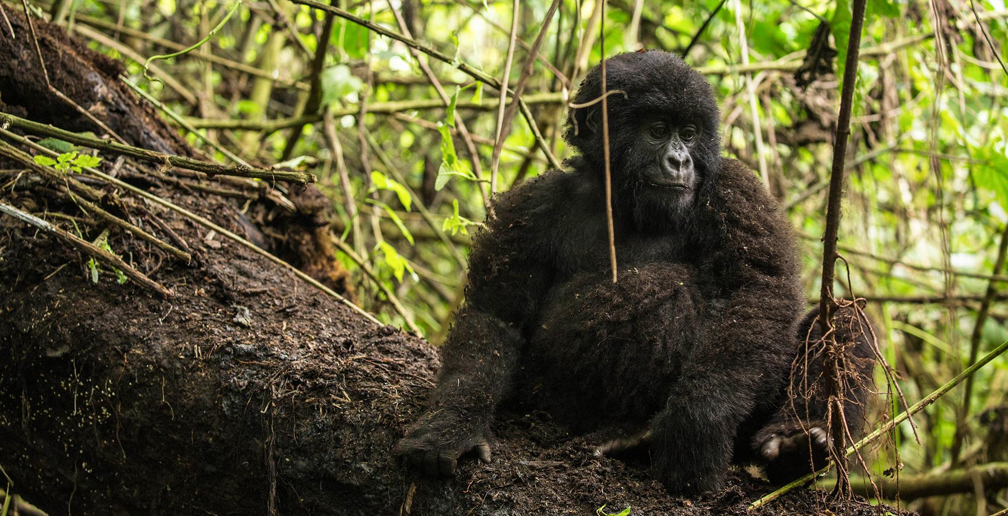 DRC-Wildlife