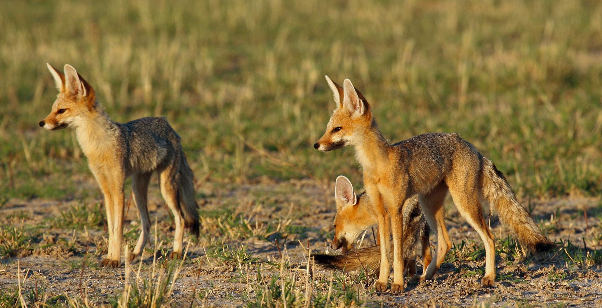 Botswana-Kalahari-Reserve-Wildlife
