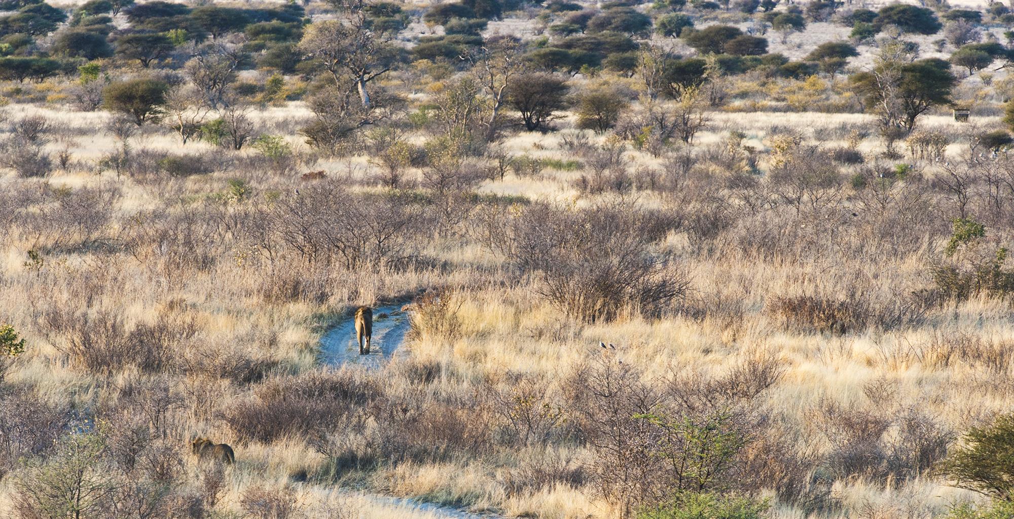 Botswana-Kalahari-Reserve-Lion-Trekking