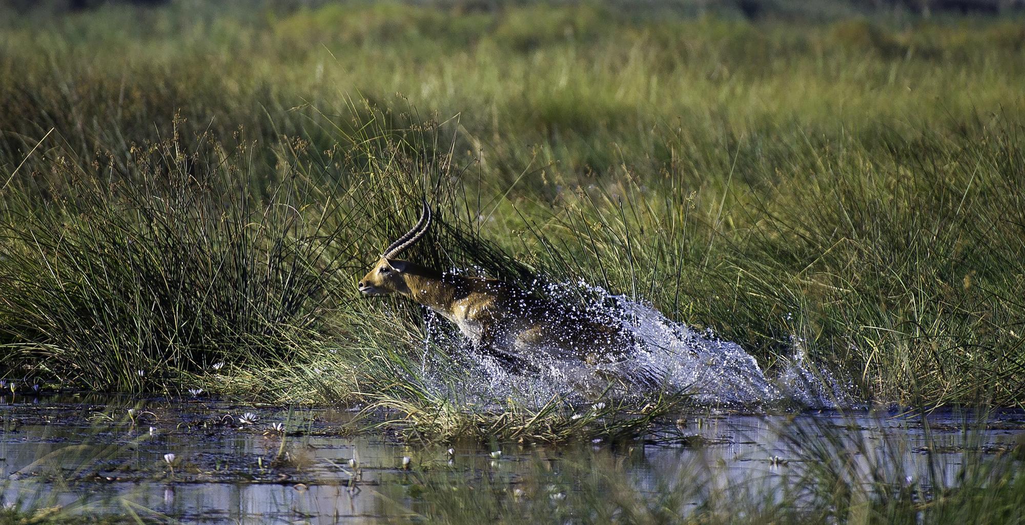 Botswana-Linyanti-Wildlife-Antelope