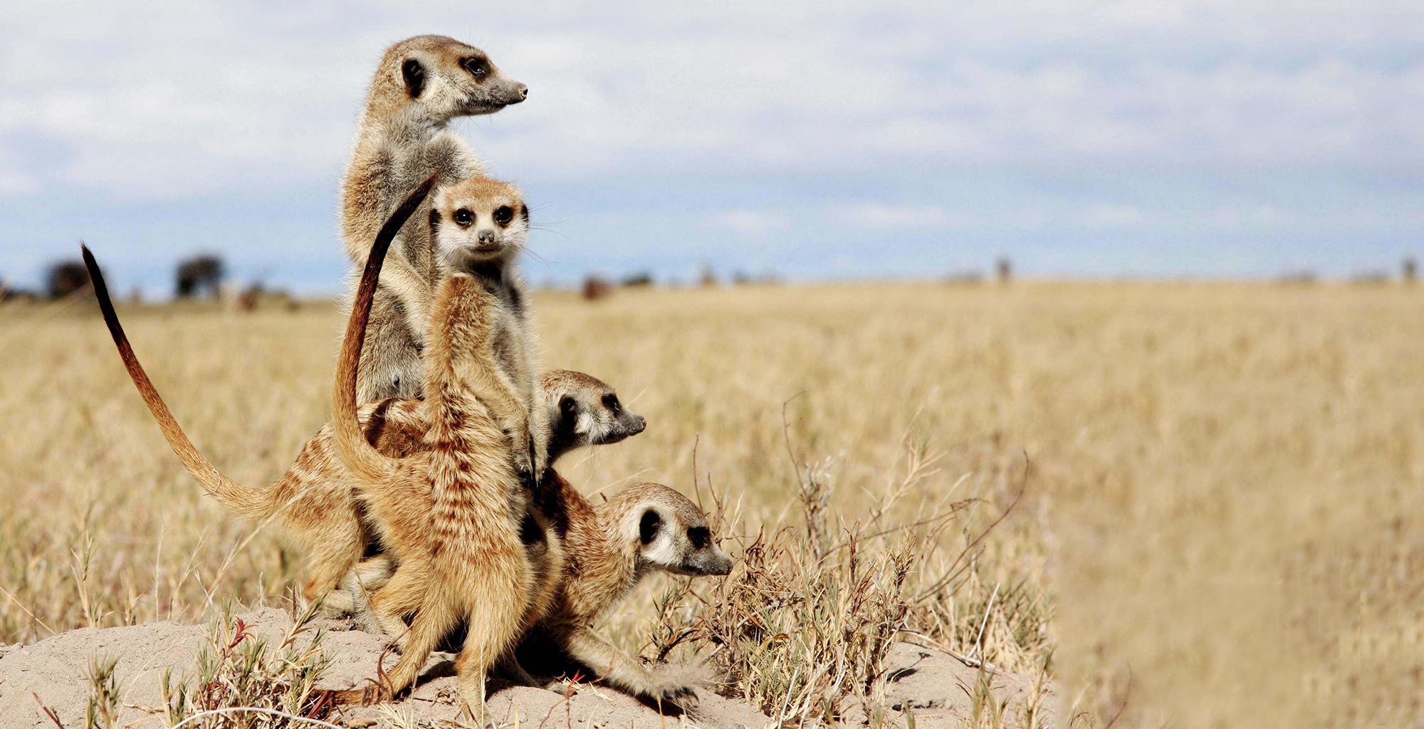 Botswana-Kalahari-Makgadikgadi-Pans-Wildlife-Meerkat