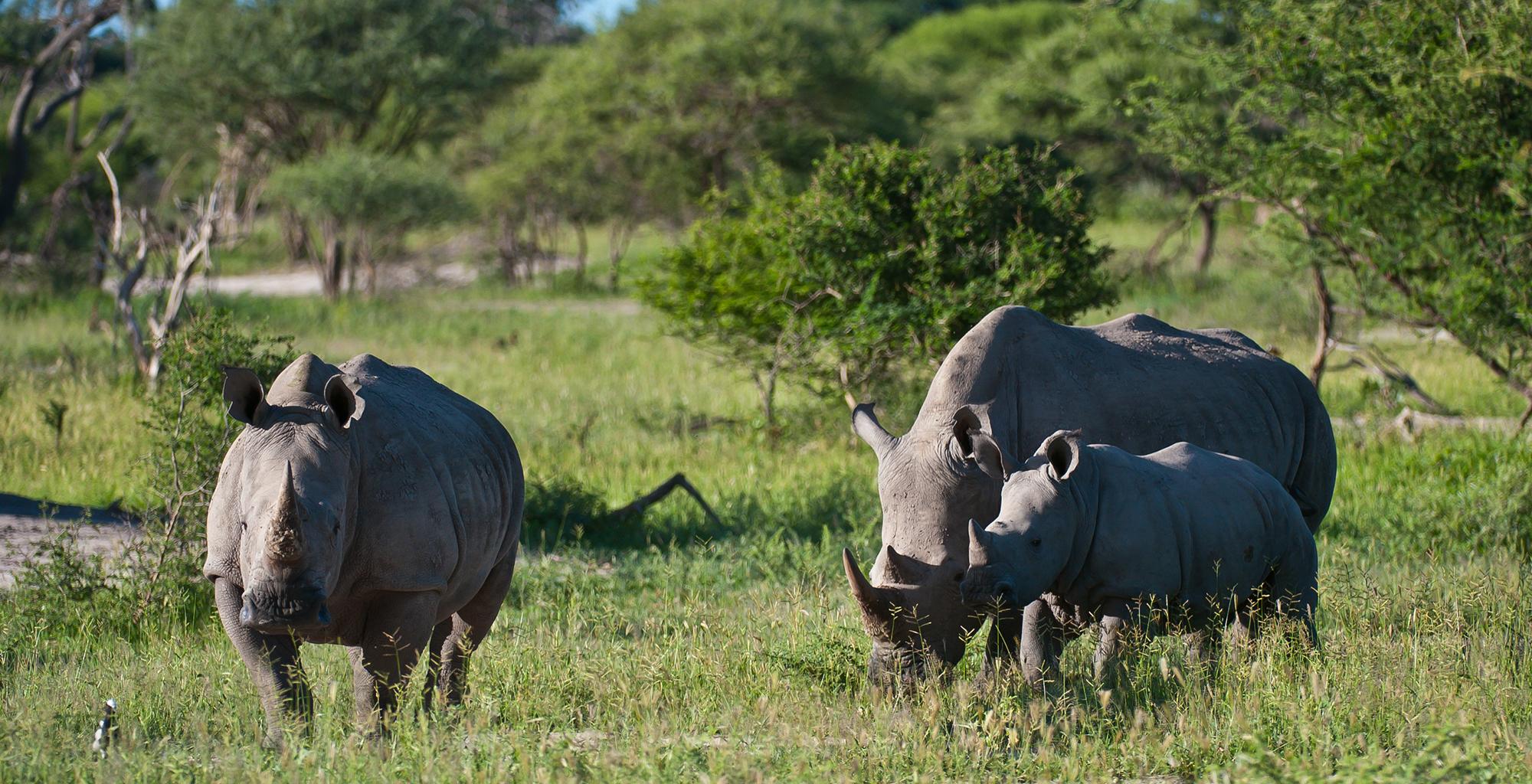 Botswana-Moremi-Reserve-Wildlife-Rhino