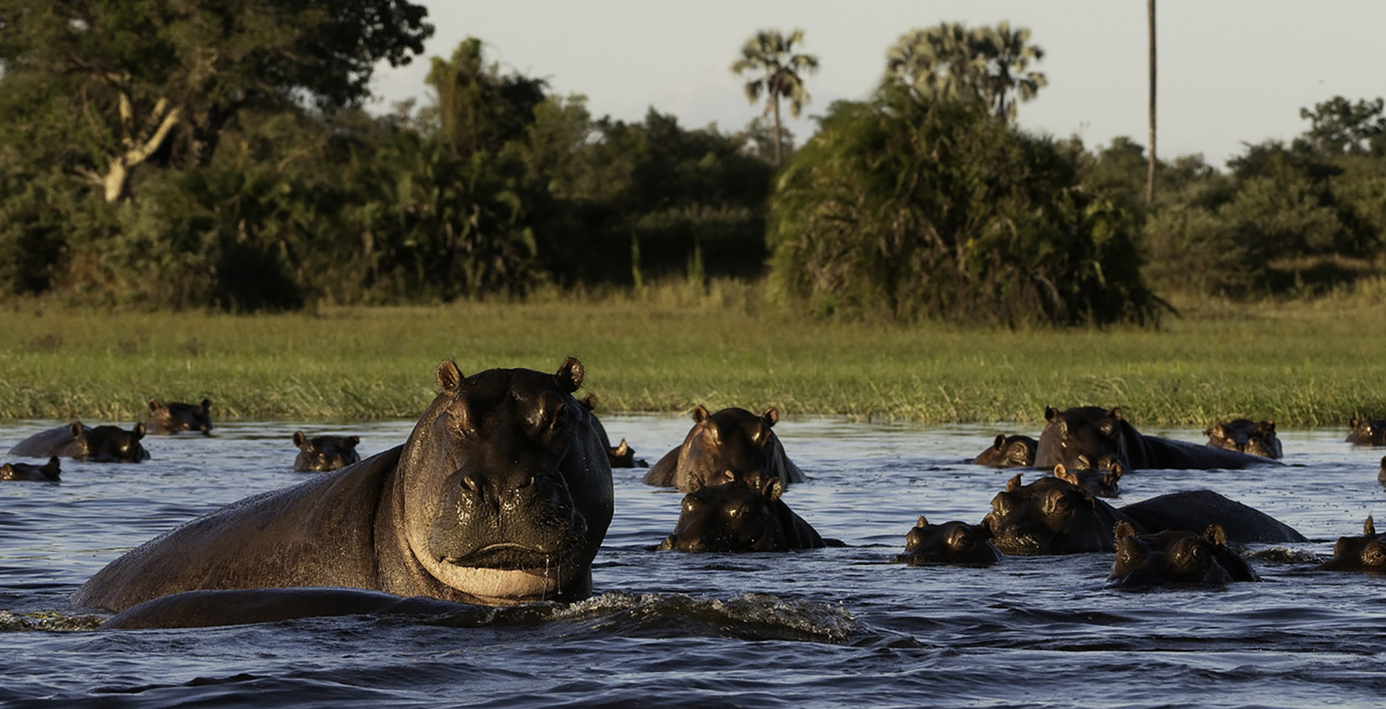 Botswana-Moremi-Reserve-Wildlife-Hippo