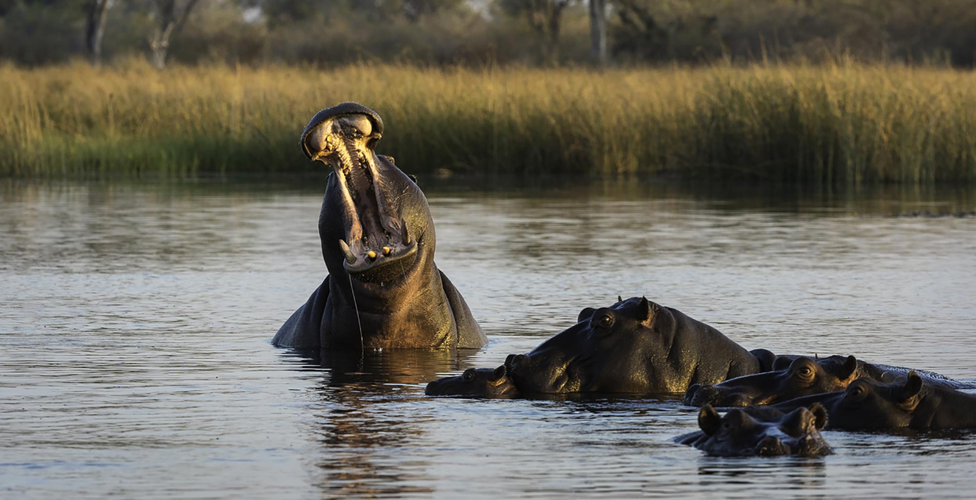Botswana-Linyanti-Wildlife-Hippo