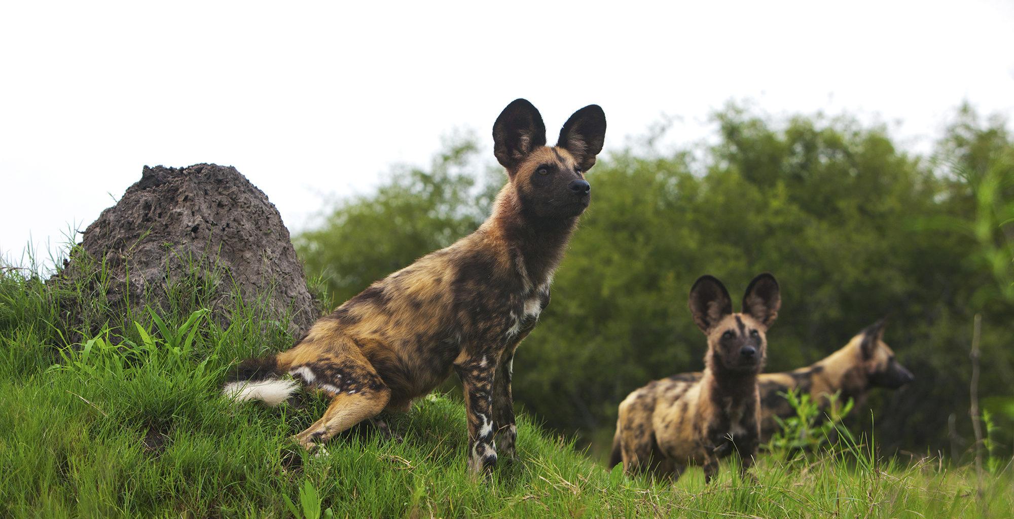 Botswana-Selinda-Concessions-Wild-Dog