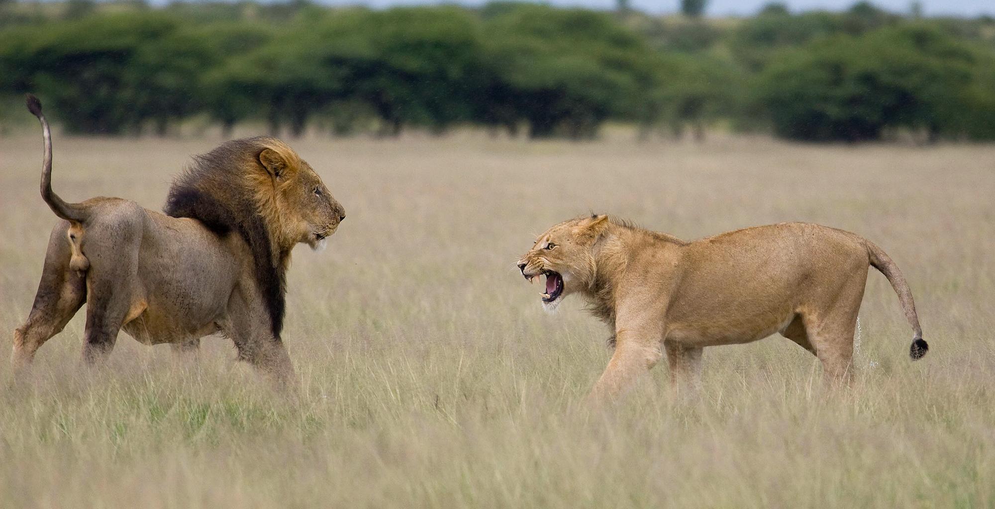 Botswana-Kalahari-Reserve-Wildlife-Lions