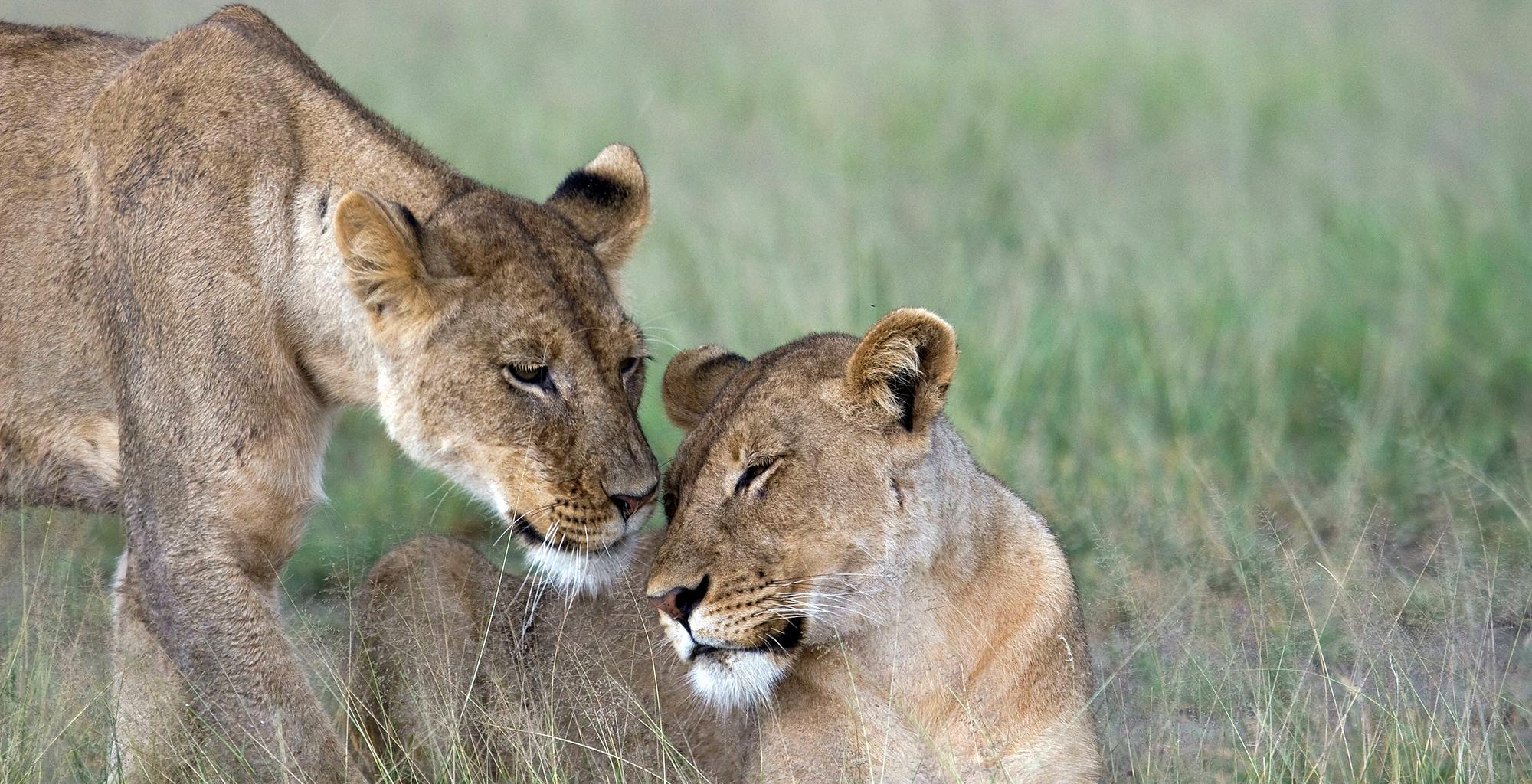Botswana-Kalahari-Makgadikgadi-Pans-Wildife-Lion