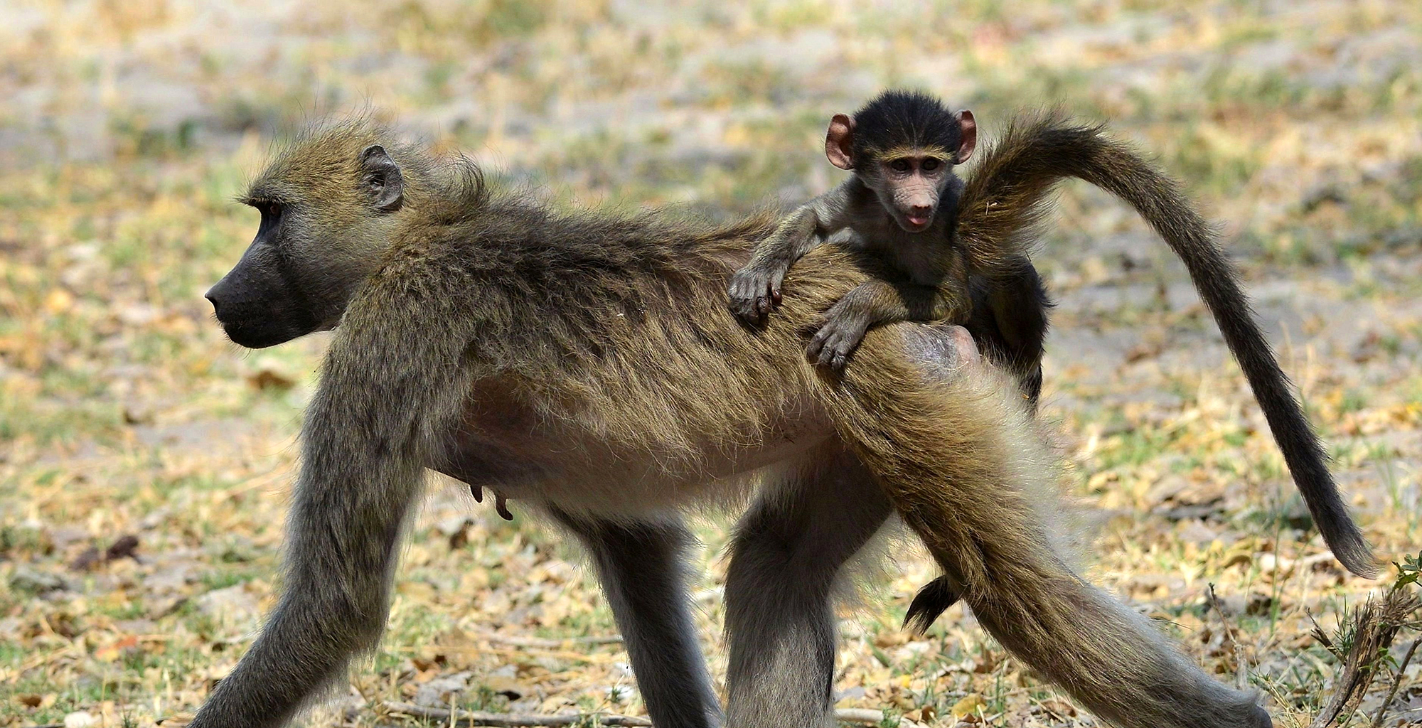Botswana-Kwando-Wildlife-Monkey