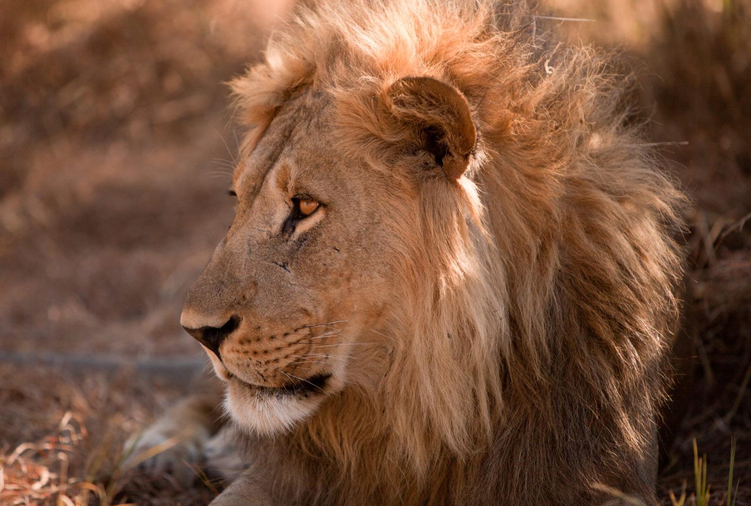 Savute-Elephant-Camp-Botswana-Lion