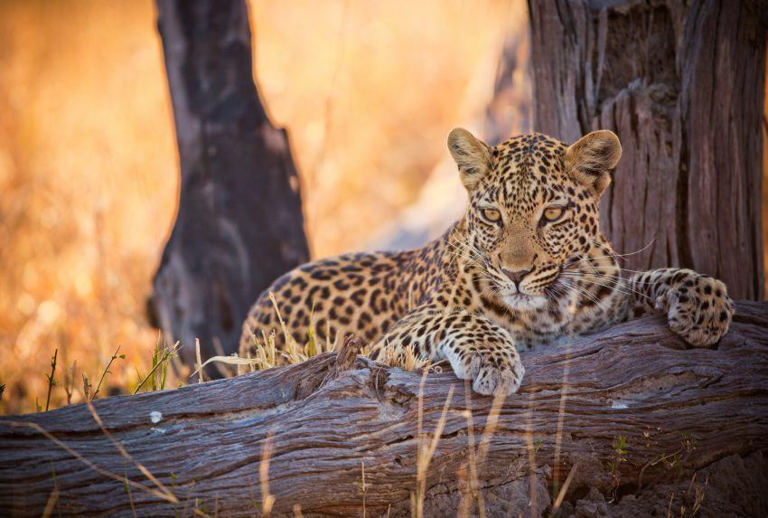 Botswana-Chobe-National-Park-Widllife-Leopard