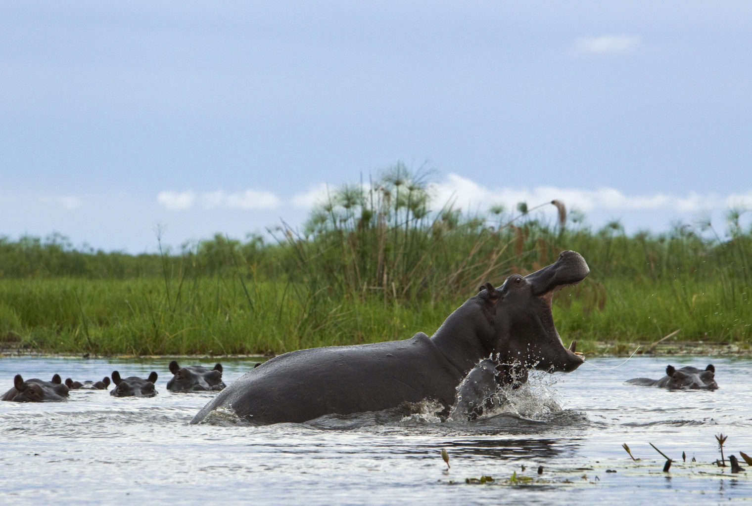 Selinda Explorers Camp Botswana hippo
