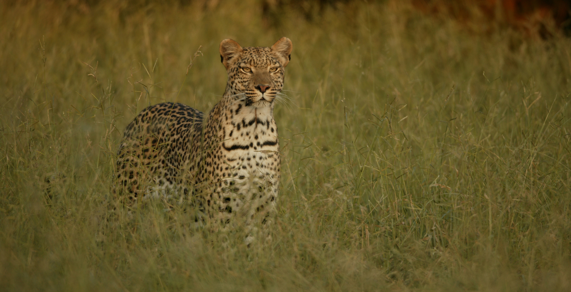 Botswana-Zarafa-Cheetah
