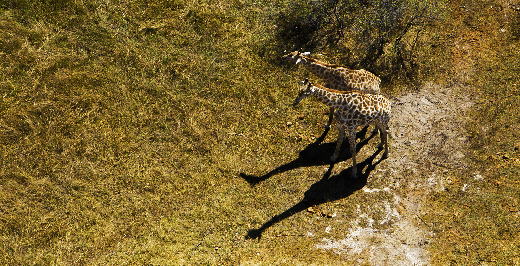 Botswana-Selinda-Explorer-Giraffe