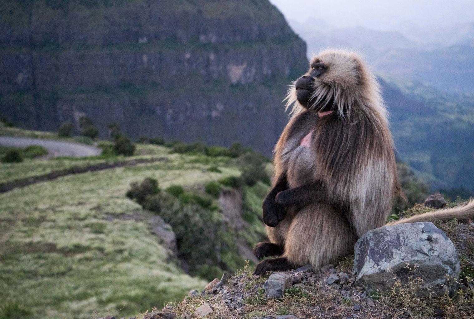 Gelada-Baboon-Ethiopia