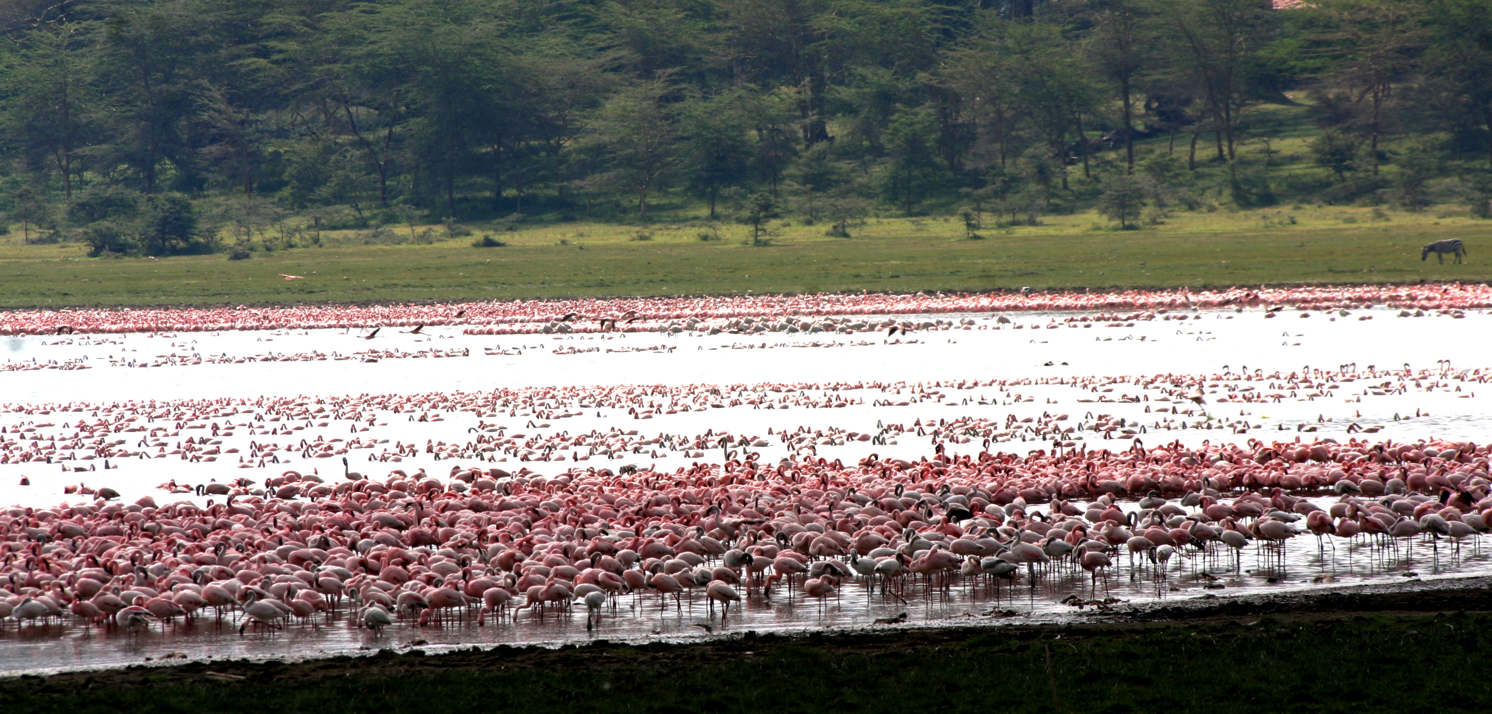 Great Rift Valley Kenya Flamingo