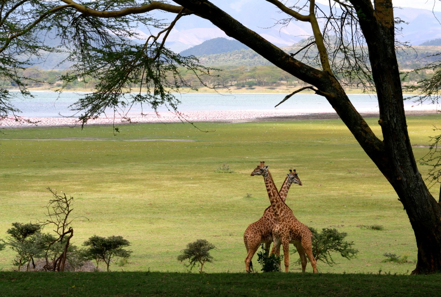 Great Rift Valley Kenya Giraffes