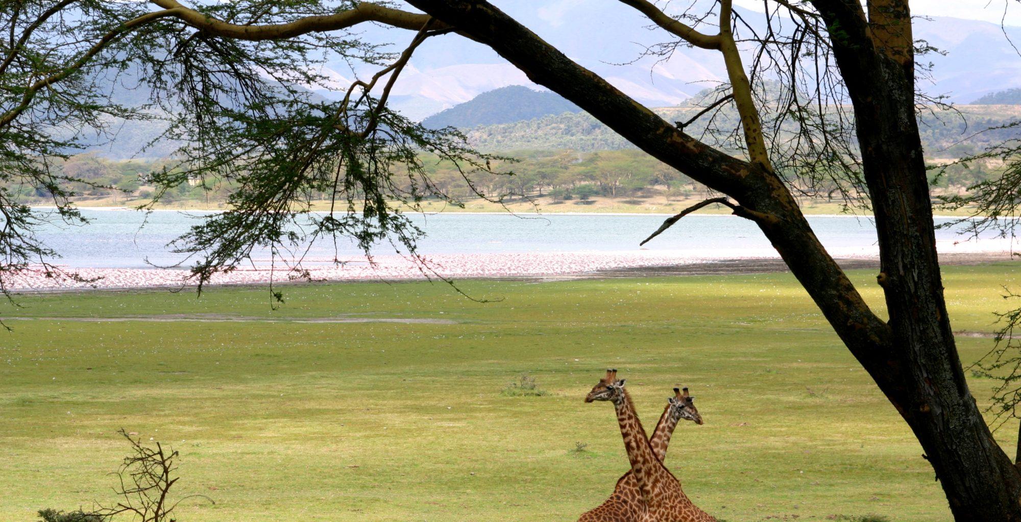 Great Rift Valley Kenya Giraffes