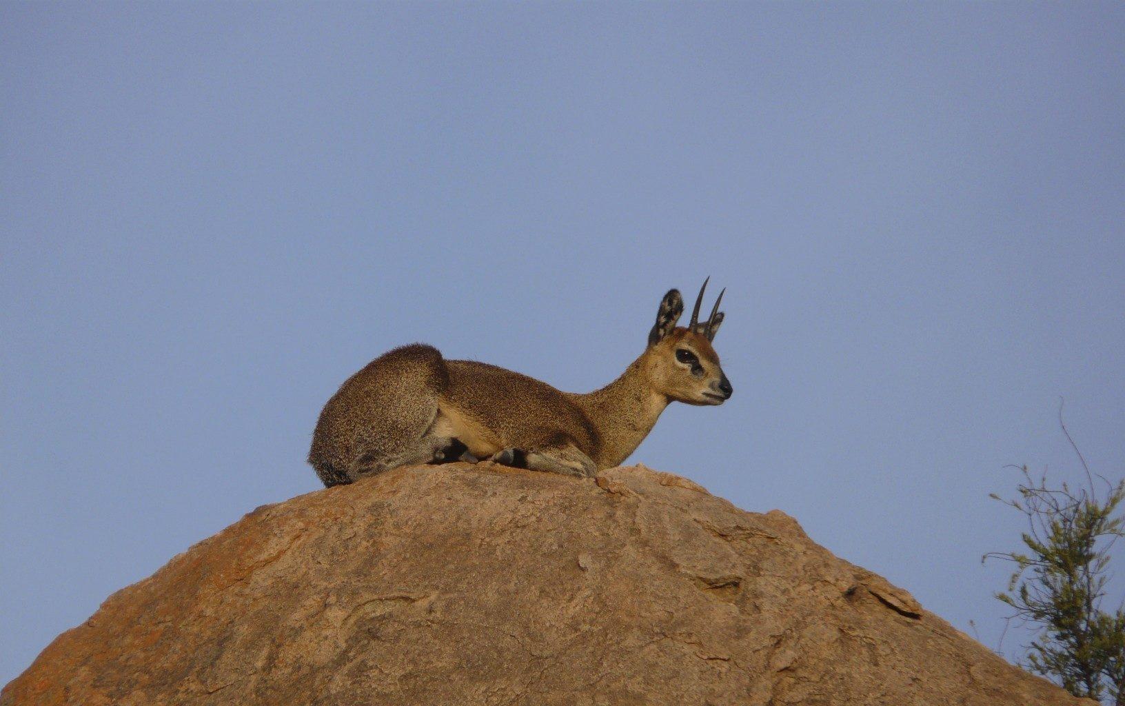 Kenya-Walking-Wild-Klipspringer