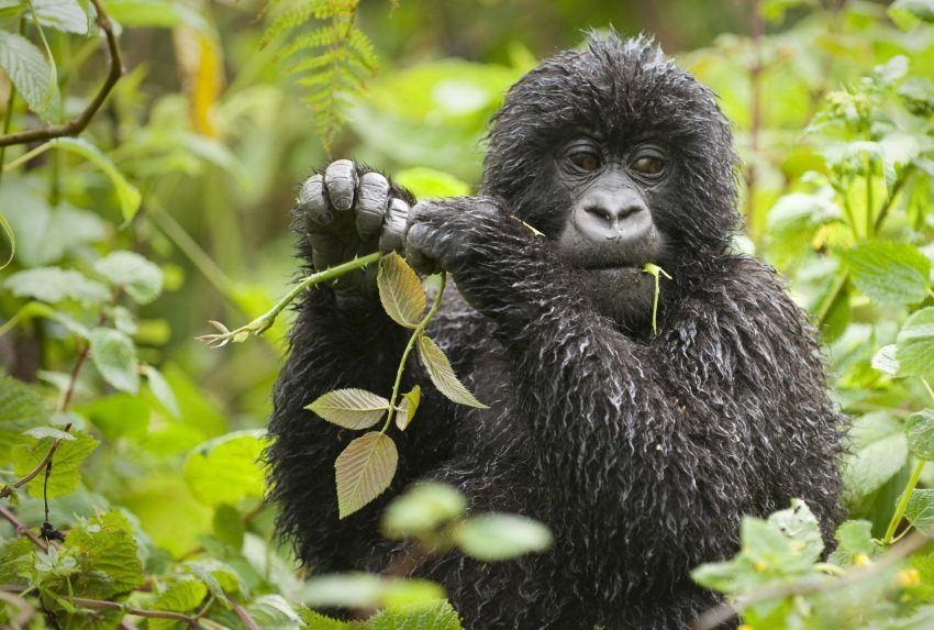 Rwanda-Wildlife-Gorilla