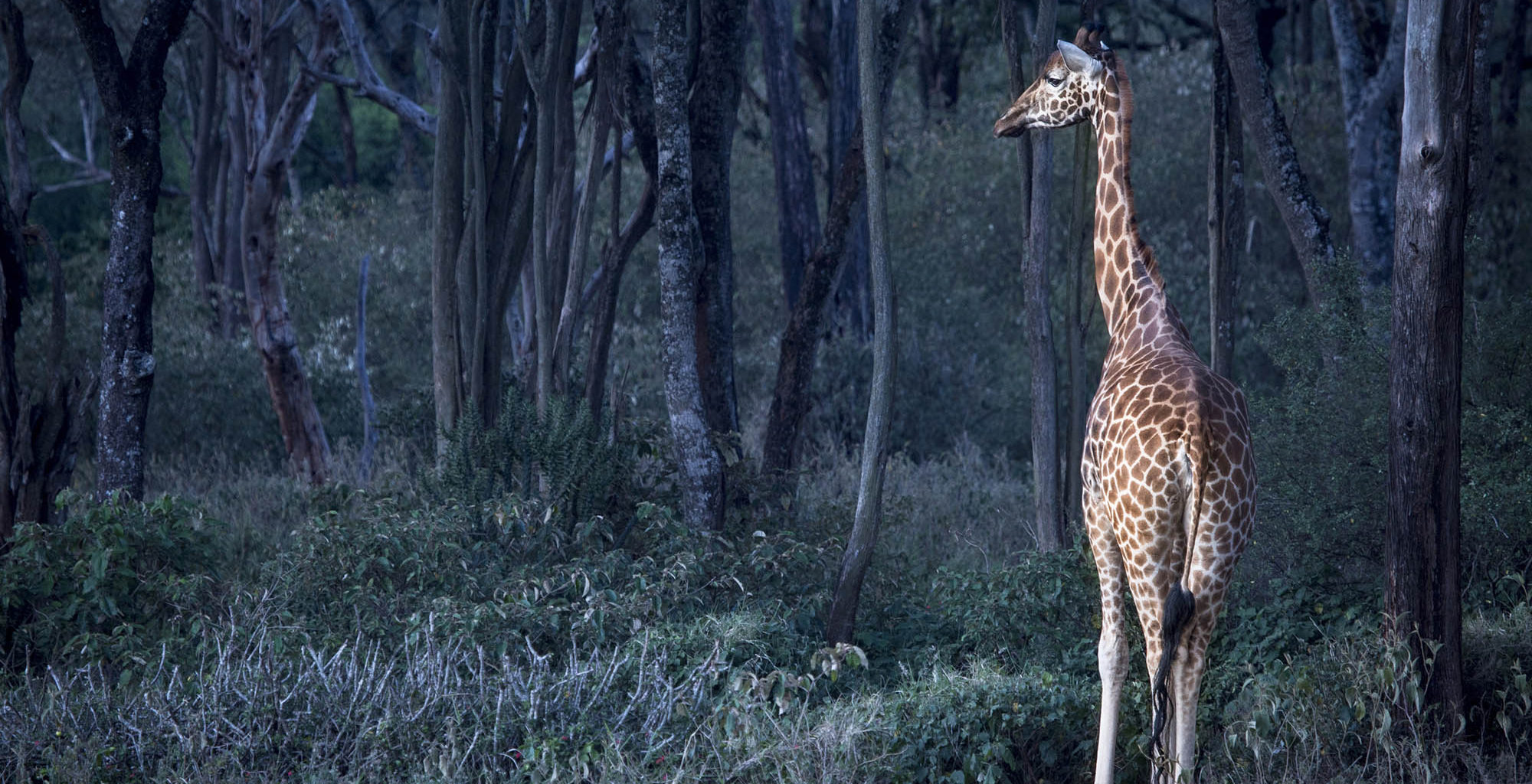 Kenya-Nairobi-Wildlife-Giraffe