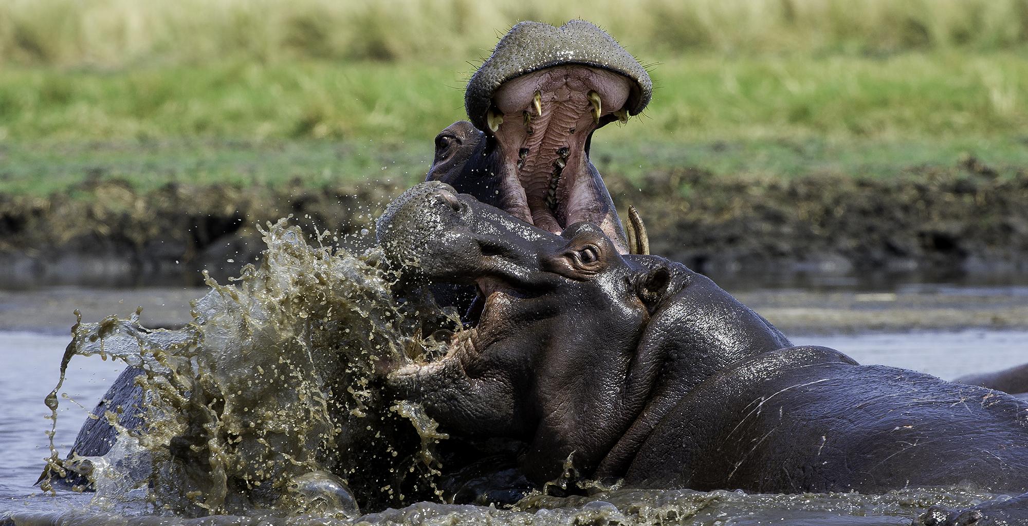 Zambia-Wildlife-Hippo