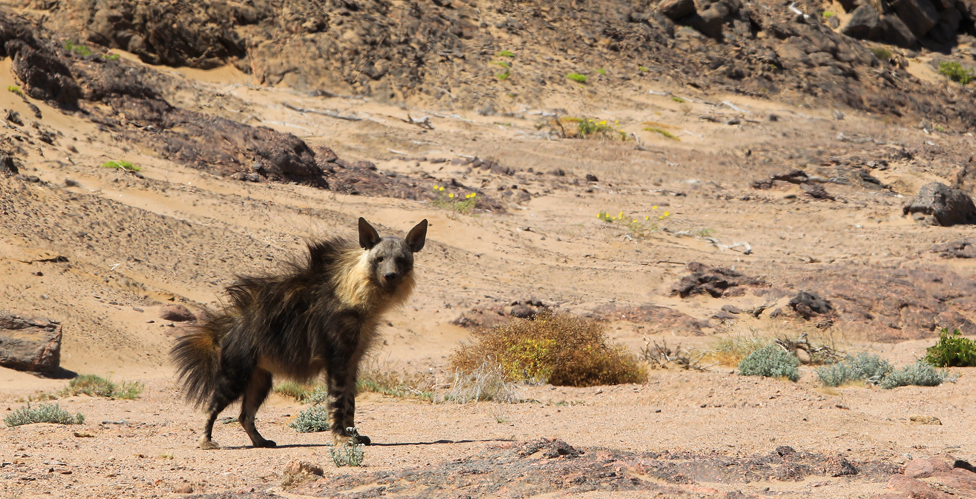 Namibia-Wild-Dog