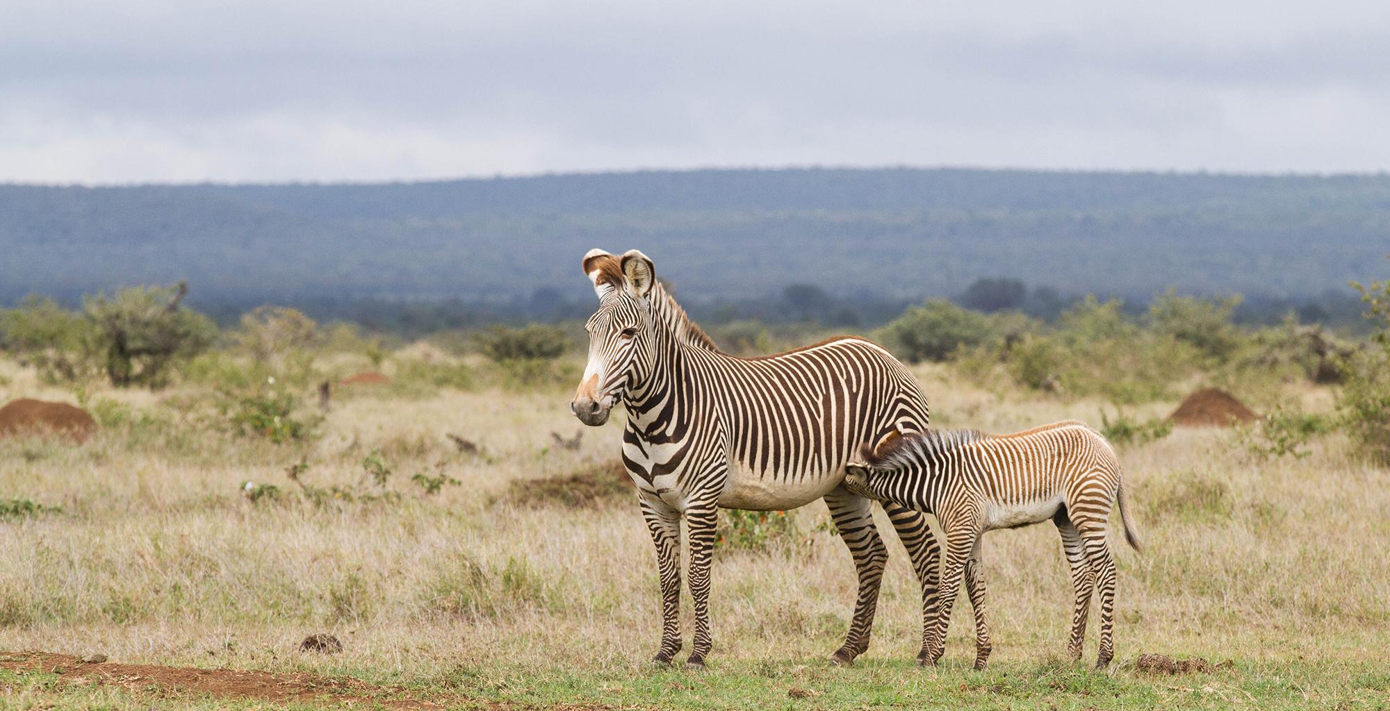 Kenya-Ekorian-Zebra