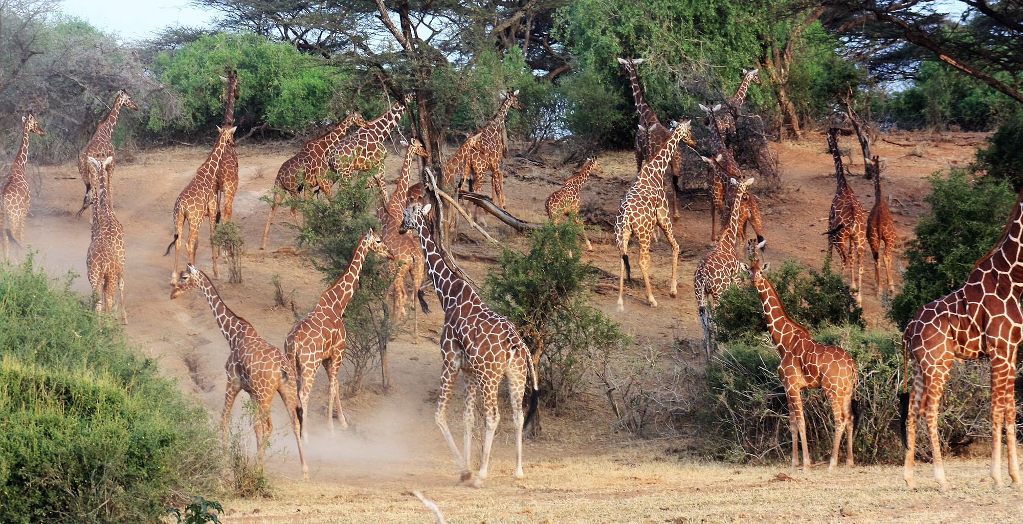 Kenya-Il-Ngwesi-Giraffe