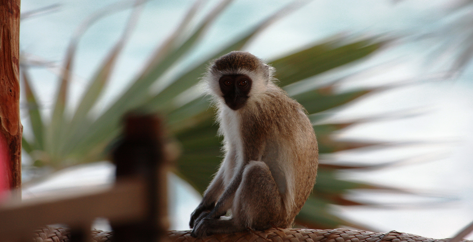 Kenya-Kiwayu-Safari-Lodge-Veret-Monkey