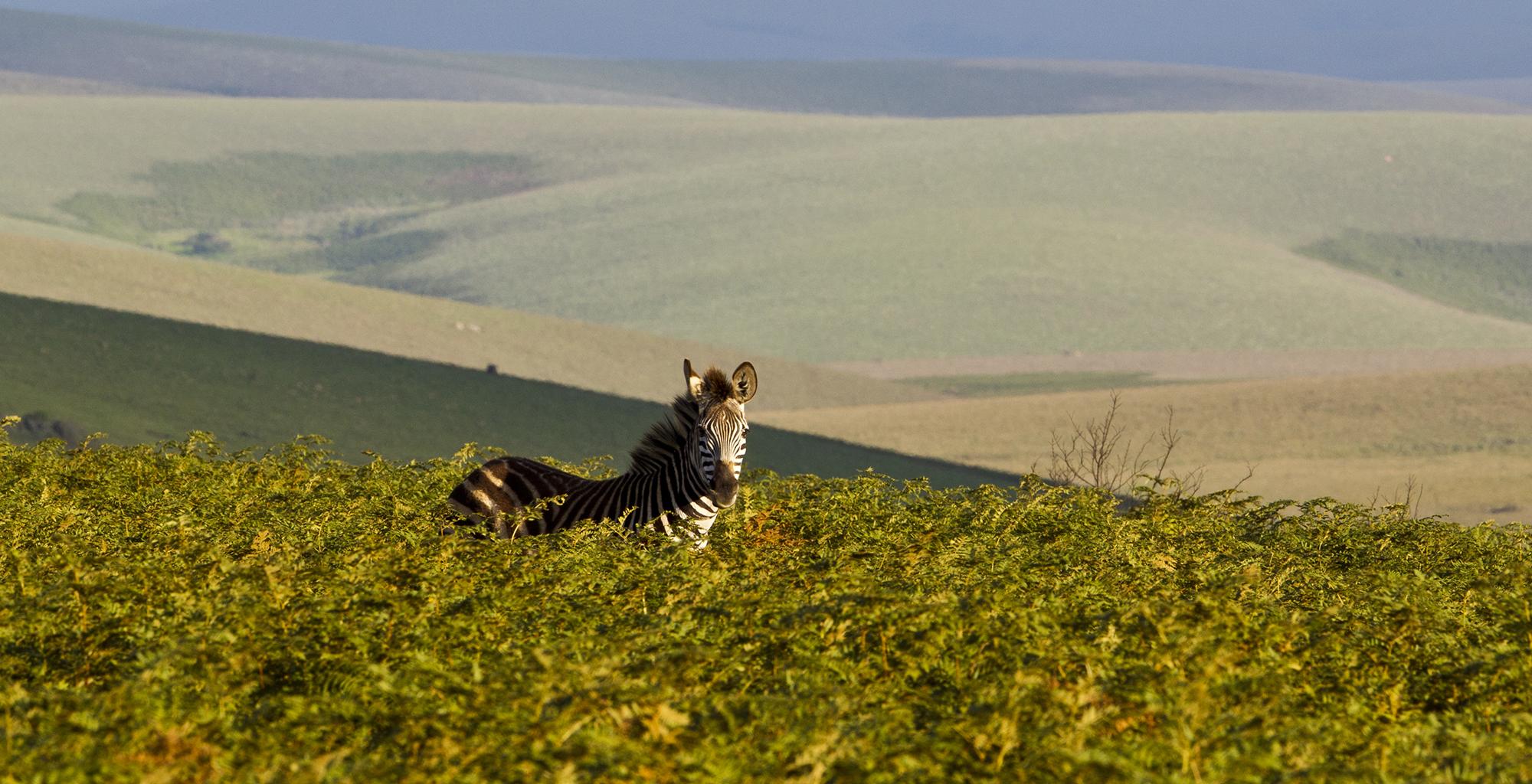 Malawi-Wildlife-Zebra