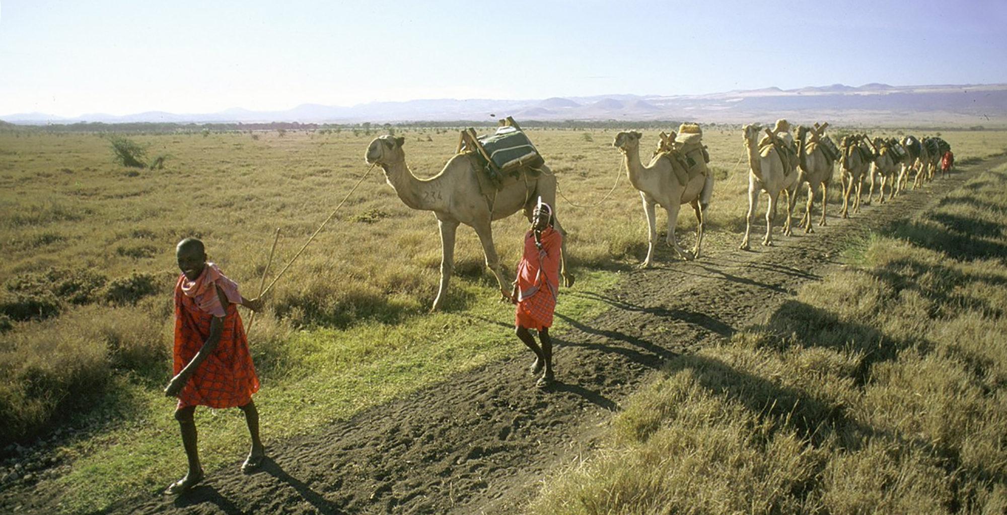 Kenya-Walking-Wild-Camel
