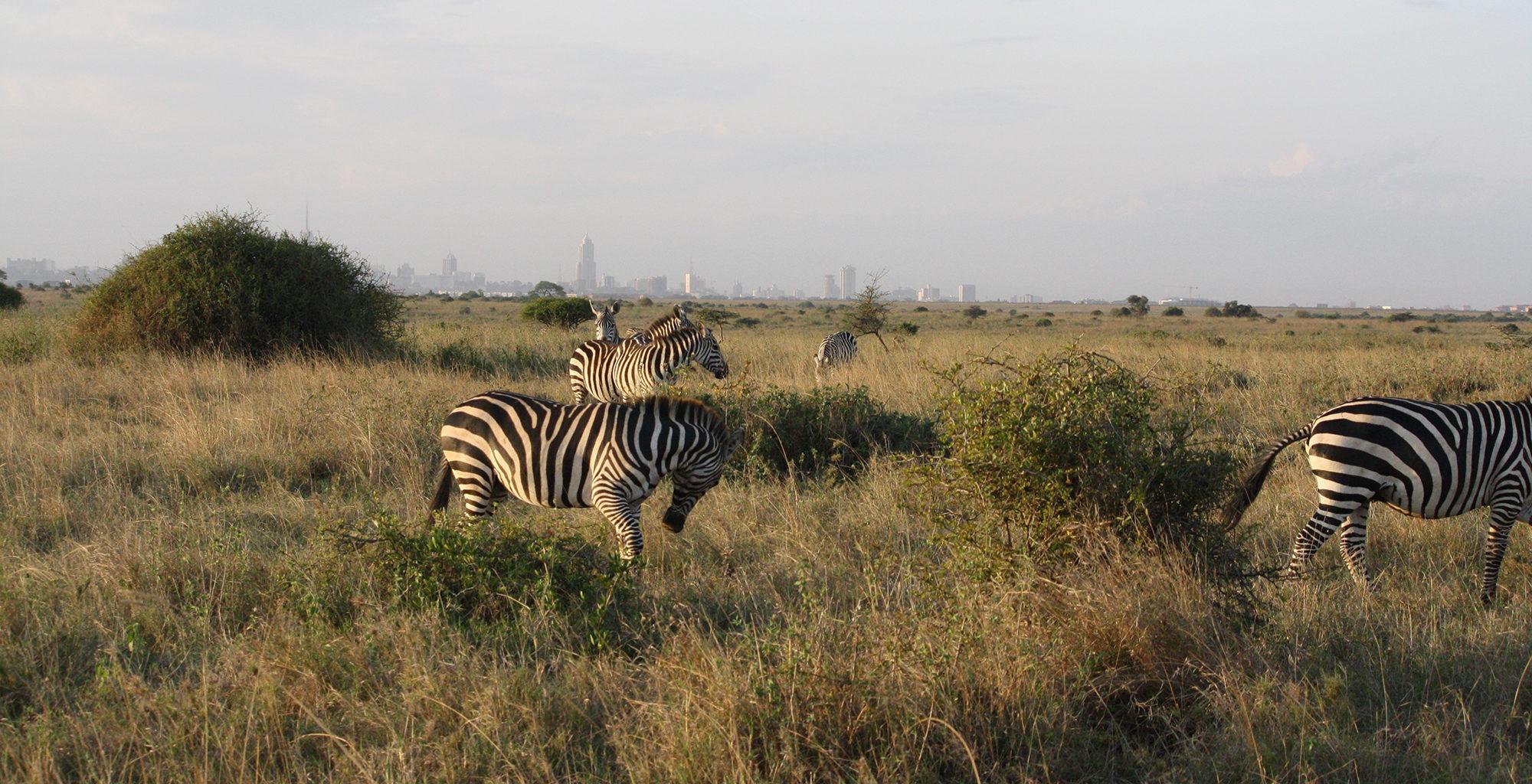 Kenya-Nairobi-Wildlife-Zebra