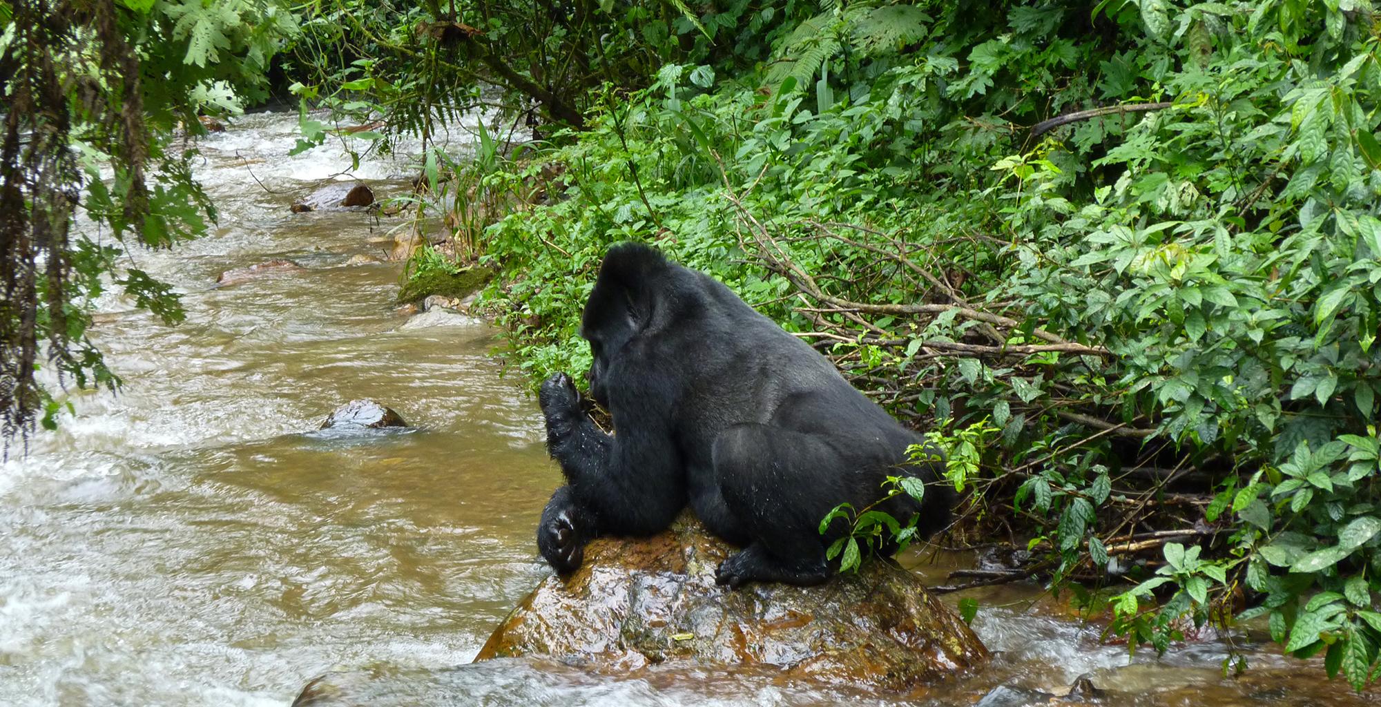 Uganda-Wildlife-Gorilla