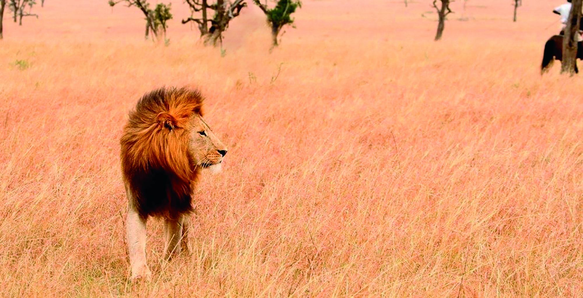 Ride-Kenya-Lion