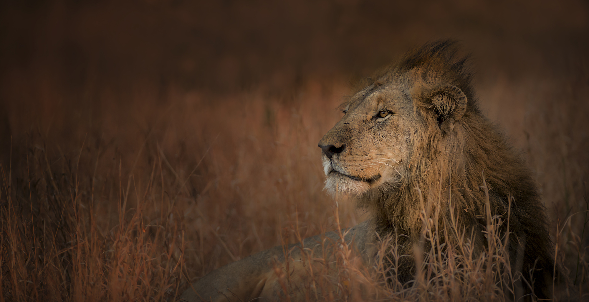 South-Africa-Wildlife-Lion