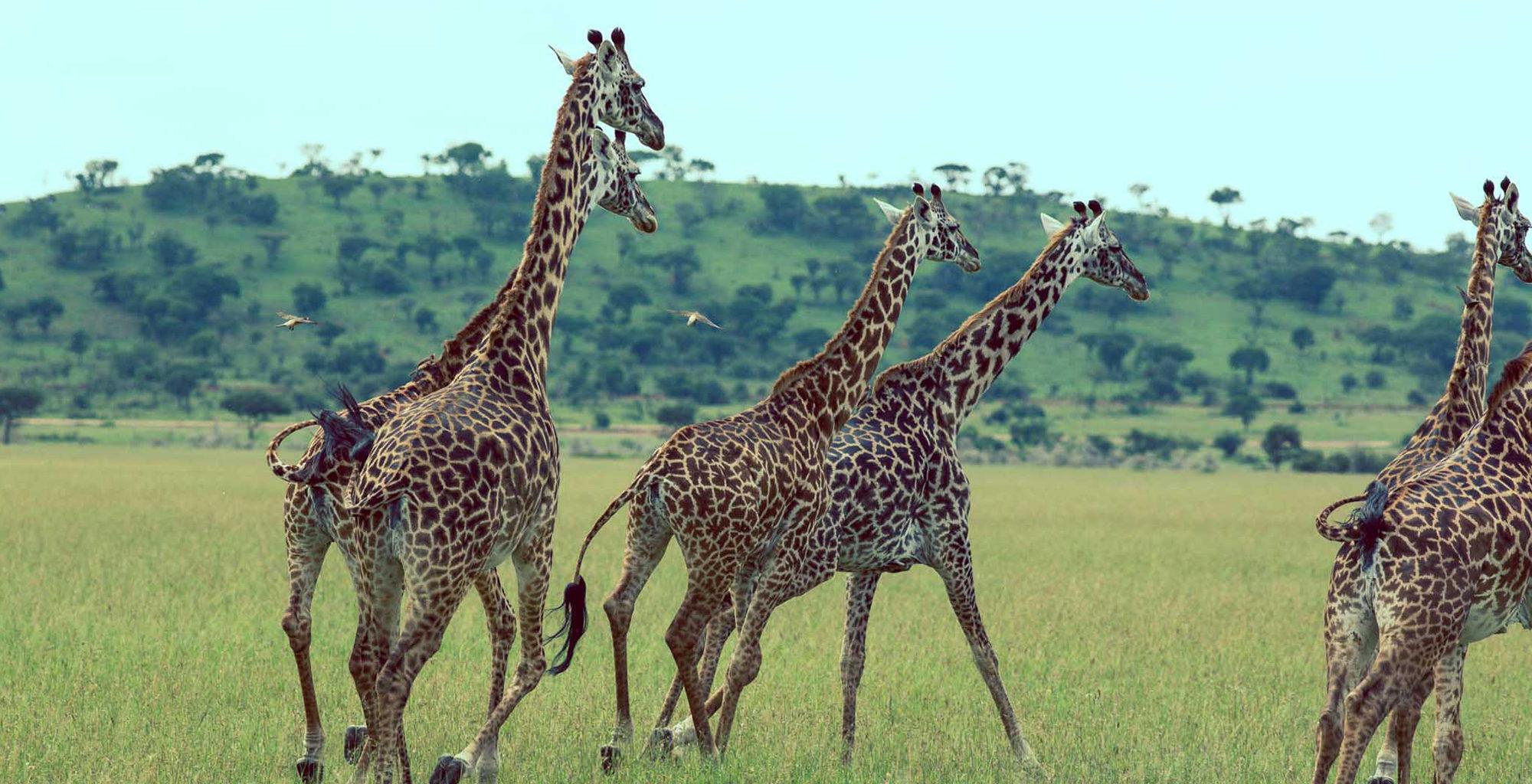 Tanzania-Wildlife-Giraffe