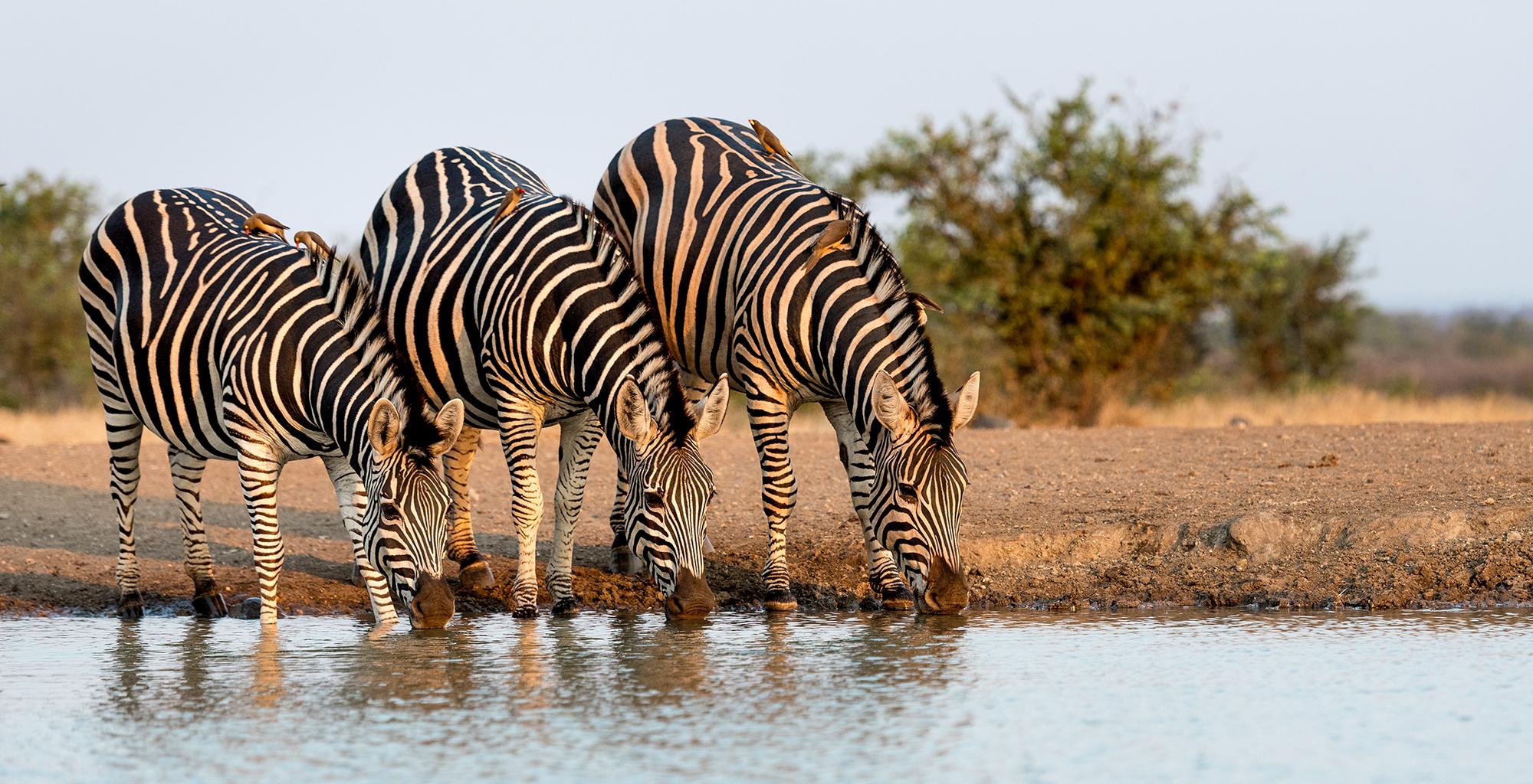 Zimbabwe-Wildlife-Zebra