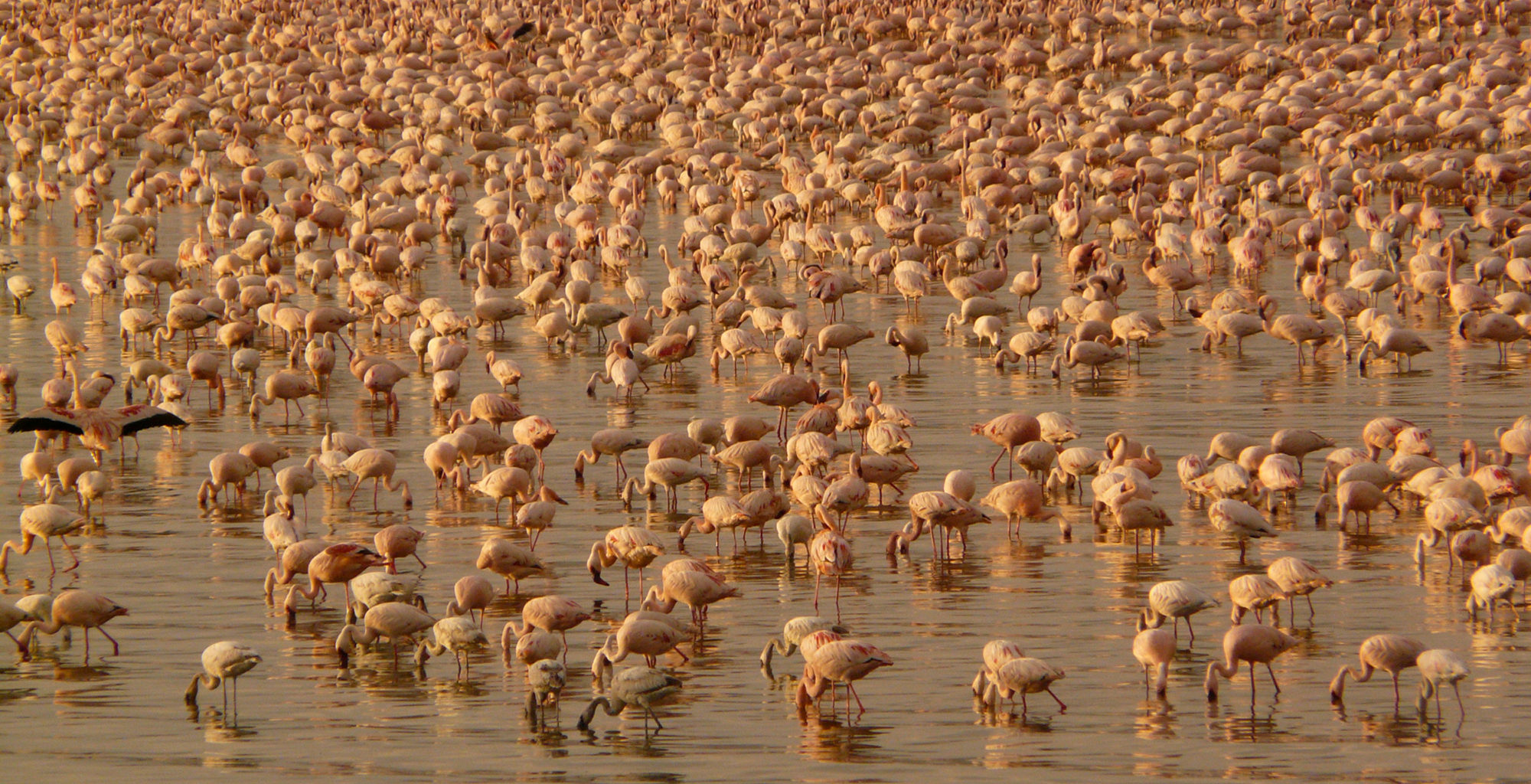 Kenya-Great-Rift-Valley-Wildlife-Flamingo
