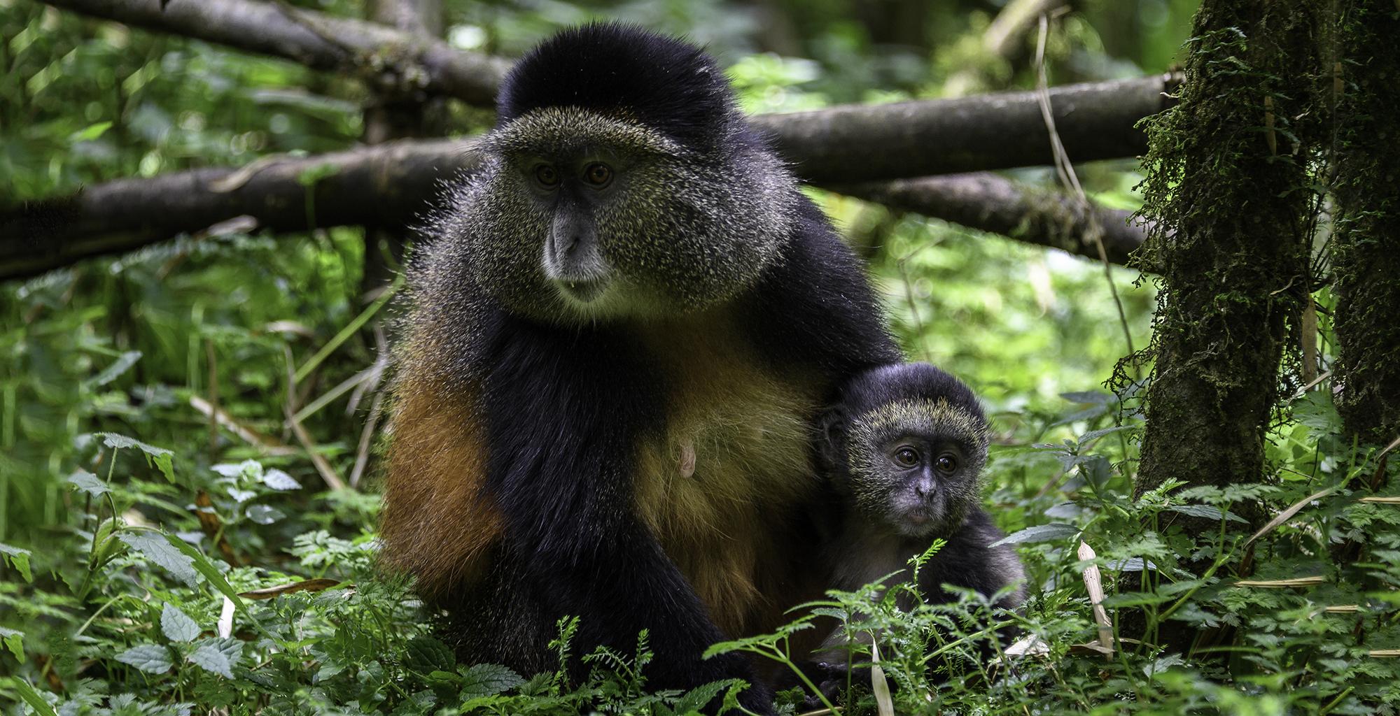 Rwanda-Wildlife-Golden-Monkey