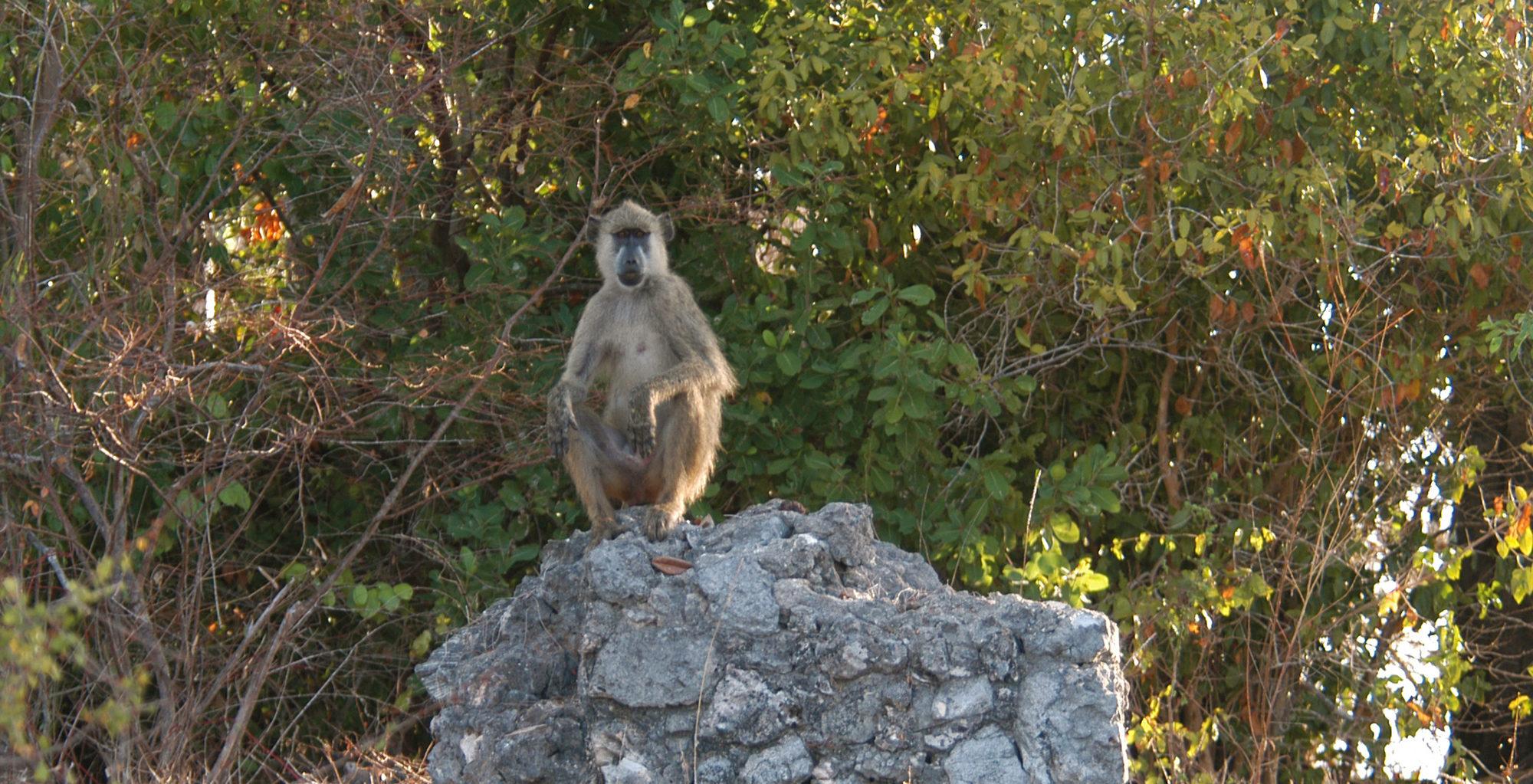 Kenya-Manda-Lodge-Bay-Baboon