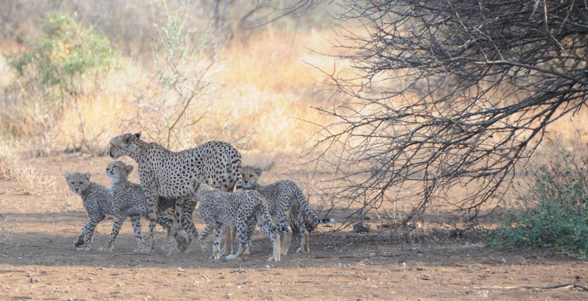 Kenya-Campi-ya-Kanzi-Cheetah